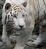 A close up of a white bengal tiger stalking its prey poster