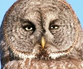 frontal view of the face of a northern grey owl poster