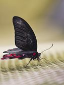 Black butterfly with red spots, sitting on the grid poster