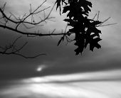 Winter oak with gloomy sky in black and white poster
