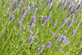 Closeup image of lavender flowers (Lavandula) in a sunny morning.