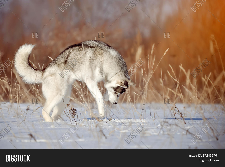 Gray Dog Purebred Image Photo Free Trial Bigstock
