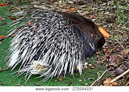 Crested Porcupine, Or Comb Porcupine (hystrix Cristata) Is A Large Rodent; The Second Largest In The
