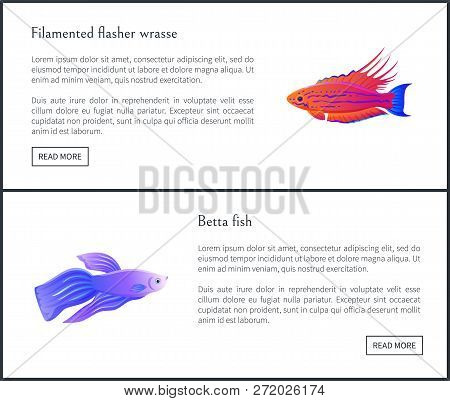Betta Fish Of Blue Color And Filamented Flasher Wrasse Posters Set With Headlines. Marine And Ocean