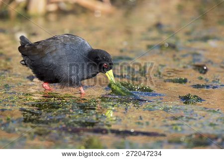 Lone Black Crake Wading Carefully Across A Muddy Pond To Look For Some Food