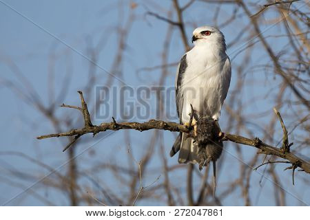 One Black Shouldered Kite Sitting In A Dry Tree With A Mouse It Killed