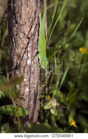 Green Anole (anolis Carolinensis) Clambering Down A Small Tree Trunk