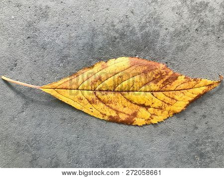Golden Brown, Autumn Leaf, On A City Street, In San Francisco, California, U.s.a.