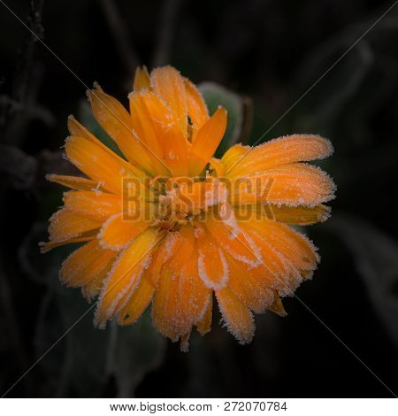 Orange Marigold Bloom Covered By First Winter Frost