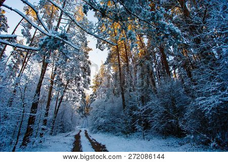 Winter Forest. High Conifers Covered With Snow. Tracks In Woods