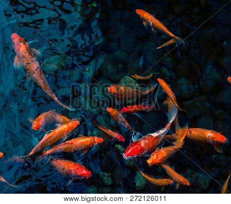 Bright Red Koi Fishes Swim In An Open Pond, Red, White And Orange Fish In Open Water. Fish Koi