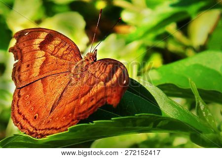 Brown Butterfly The Symbolism Of Brown Colored Butterflies And Brown Butterfly Mythology, Legends, S