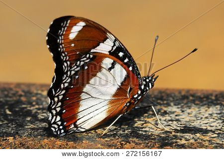 Butterfly Butterflies Are Insects In The Macrolepidopteran Clade Rhopalocera From The Order Lepidopt