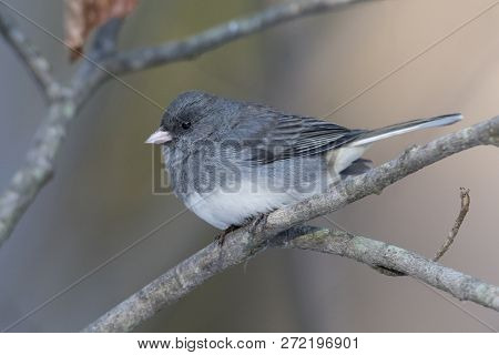 Dark-eyed Junco (junco Hyemalis) Perched On A Branch In Late Autumn - Ontario, Canada
