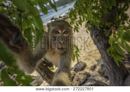 Curious Monkey Holds Camera Looking Directly Into The Lens Crab-eating Macaque Macaca Fascicularis A