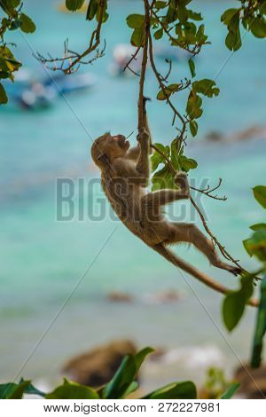 Monkey Swing From The Tree Crab-eating Macaque Macaca Fascicularis Also Known As Long-tailed Macaque