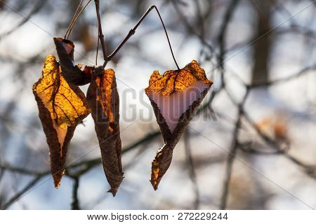 Snow In Bright Yellow Leaves. Winter Background. Snow-covered Bushes In Winter Forest. Branch With L