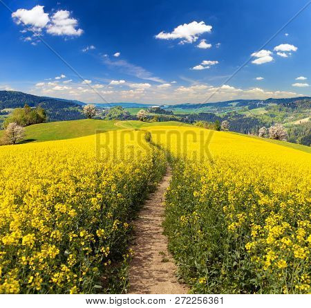 Field Of Rapeseed, Canola Or Colza In Latin Brassica Napus With Path Way And Beautiful Cloudy Sky, R