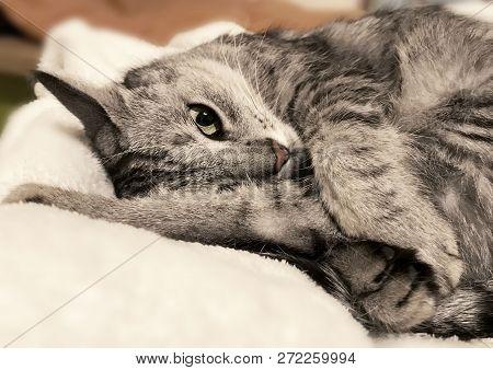 Sleeping Cat On A Sofa, Sleeping Kitten, Sleepy Cat Close Up, Animals, Domestic Cat, Relaxing Cat, M