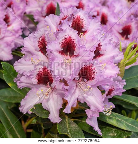 Rhododendron Hybrid Kabarett, Rhododendron Hybrid, Close Up Of The Flower Head