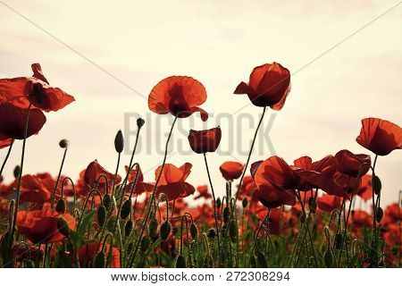 Drug and love intoxication, opium, medicinal. Poppy flower field, harvesting. Opium poppy, botanical plant, ecology. Summer and spring, landscape, poppy seed Remembrance day Anzac Day serenity poster
