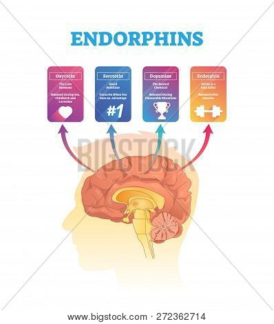 Endorphins Vector Illustration. Isolated Human Brain Cross Section Hormones Scheme. Exposure And Rel