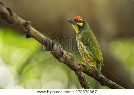 Cute Yellow Green Bird, Coppersmith Barbet (or Megalaima Haemacephala) Sitting On Tree Branch With B