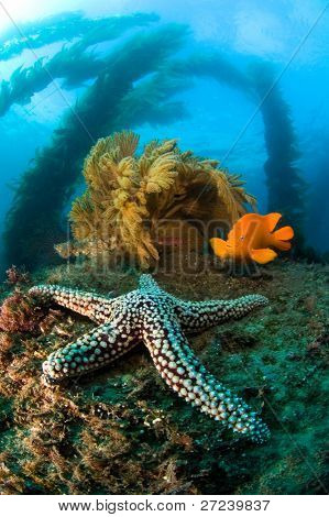 A cold water reef in California is host to a starfish, bright orange garibaldi, swaying kelp and brown sea fans.