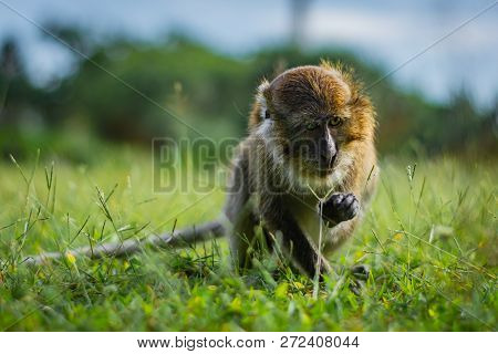 Eating-crab Macaque (long-tailed Macaque) Is Browsing A Grass In Koh Lanta Island In The National Pa