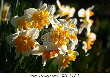 A Large Number Of Narcissuses Look Brightly And Contrastly In Beams Of The Morning Sun.