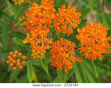 Butterfly Weed Or Orange Milkweed Wildflower, Nc