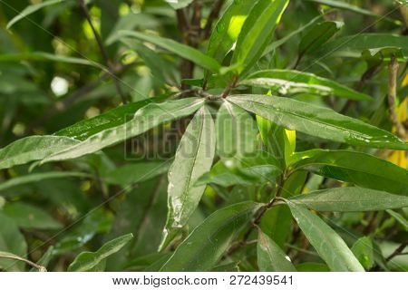 Close Up White Justicia Gendarussa, Herbal Plant