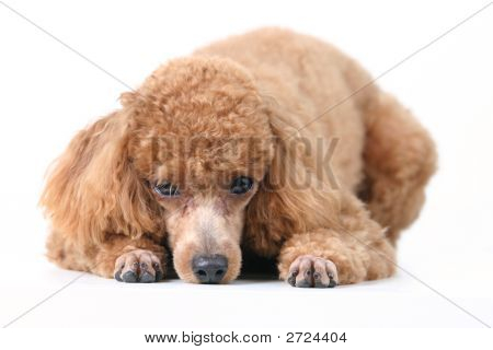 Brown toy poodle in classic poodle-cut groomed professionally poster