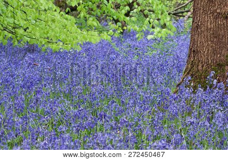Tree Trunk In A Carpet Of Bluebells With Green Leaves In Background