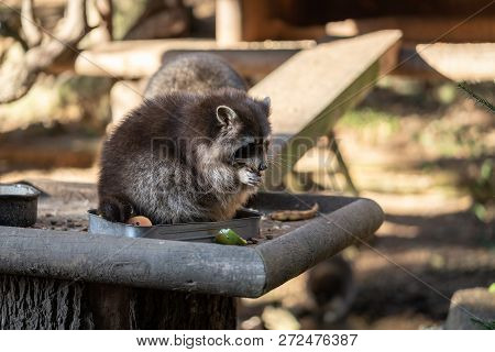 Eating Raccoon Or Racoon Procyon Lotor , Also Known As The North American Raccoon At Mealtime In The