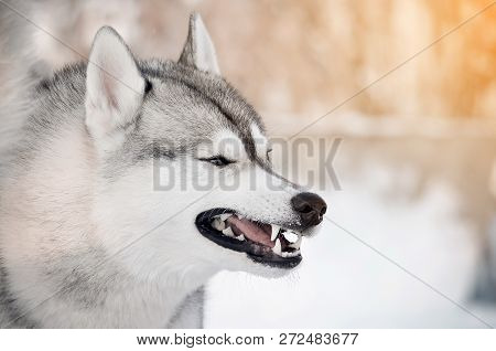 Grinning Gray Dog Showing Teeth Closeup Side Portrait Winter Outdoor Blur Background