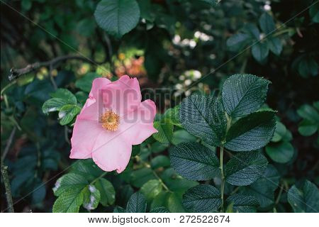 Wild rose variety, Canis sp. growing in Norfolk, England (analog film photograph)