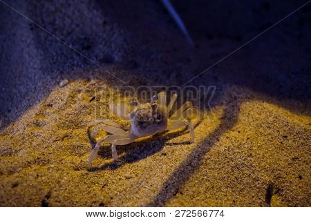 A small crustacean on the beach in the sand in Thailand poster