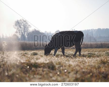 Cow Grazing On A Frozen Field. The Grass Is Covered With Frost. Cold Snap, Change Of Weather, Onset