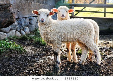 twin lambs watching the photographer