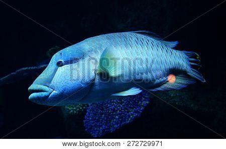 Humphead maori wrasse fish / Napoleon fish swimming marine life underwater ocean (Cheilinus undulatus)
