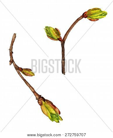 Watercolor Image Of Two Spring Twigs With Green Buds On White Background