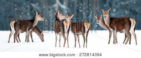 Group Of Beautiful Female Graceful Deer In A Snowy Winter Forest. Noble Deer (cervus Elaphus). Winte