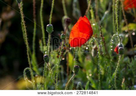 Red Poppy Flowers. Blooming Poppy Flower. Red Poppy Flower On A Green Grass.  Garden With Poppy Flow