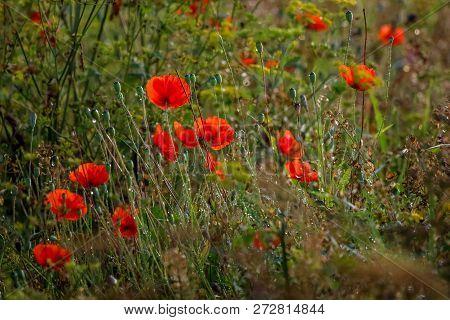 Red Poppy Flowers. Blooming Poppy Flowers. Red Poppy Flowers On A Green Grass.  Garden With Poppy Fl
