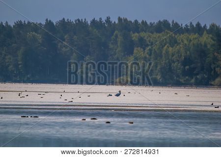 Floating Waterfowl, Young Swans And Ducks, Wild Birds Swimming On The Lake, Wildlife Landscape. Duck