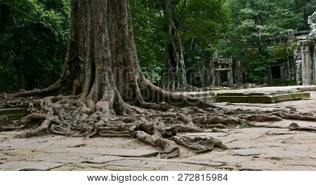 Beautiful Old Growth Banyan Tree Roots Sprawling Out Around Ruins In Cambodia. Banyan Is Sacred.