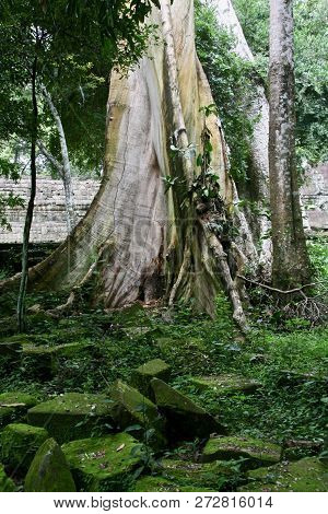 A Beautiful Big White Tree Trunk With Buttress Roots Growing In Moss Covered Ruins In The Jungles Of