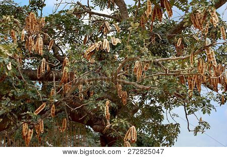Acacia With Plenty Of Pods In West Africa. Ghana