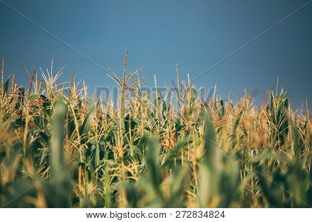 Green Maize Corn Field Plantation In Summer Agricultural Season.